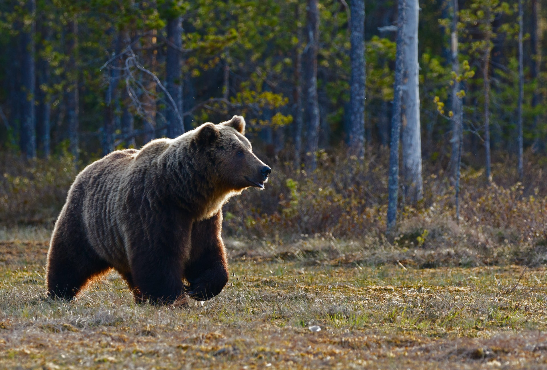 Brown Bear walks out of the forest.